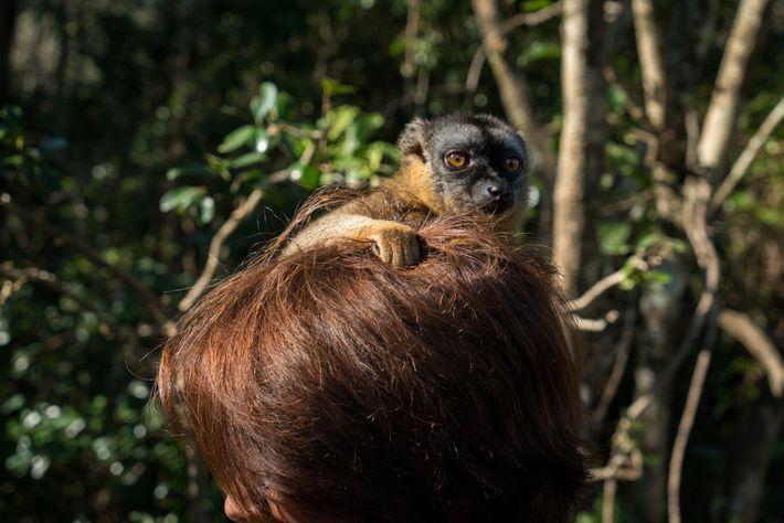 Un lémur marrón sobre la cabeza de una mujer en un hotel en el este de ...