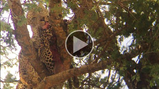 Imágenes fuertes: Raro video de un leopardo devorando a otro leopardo