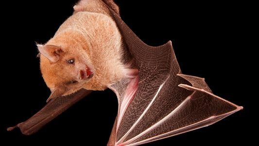 Murciélago magueyero menor