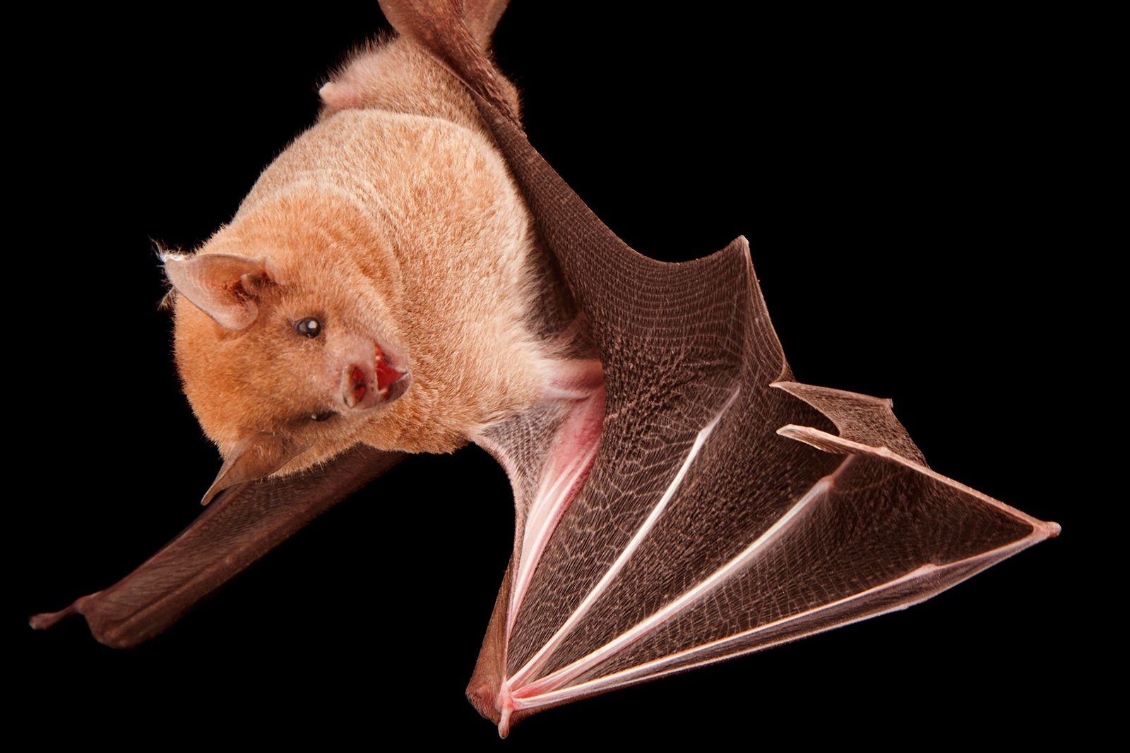 El murciélago magueyero menor es un importante polinizador que contribuye a mantener los ecosistemas desérticos del ...