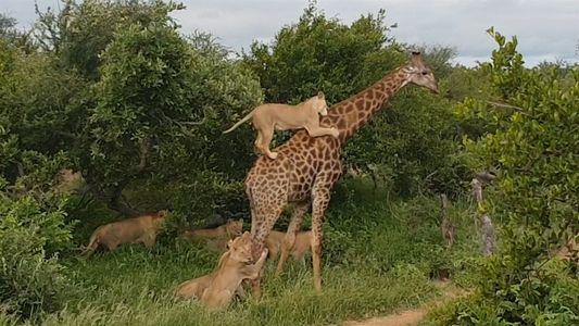 Una manada de leones se lanza contra una jirafa adulta en un arriesgado ataque