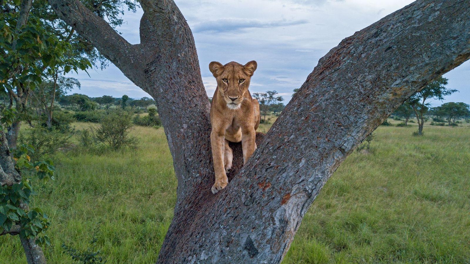Una leona descansa en la bifurcación de un árbol en el Parque Nacional Queen Elizabeth de ...