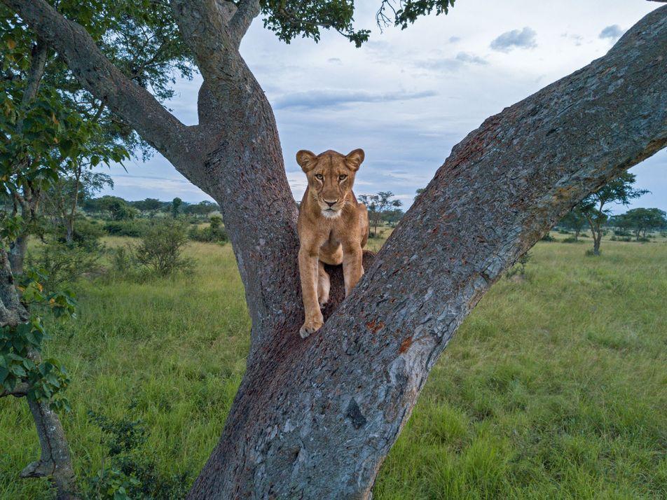 ¿Por qué no se sabe cuántos leones viven en África realmente?