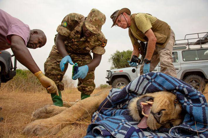 Los investigadores y los guardabosques le colocan a un león macho un nuevo collar con satélite ...