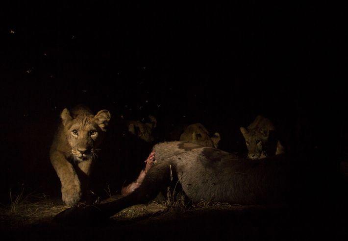 Una cría de león se come un antílope acuático y activa una cámara trampa remota. Al ...