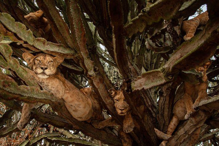 Las crías de seis meses se relajan en un árbol. Si bien los científicos pueden estar ...