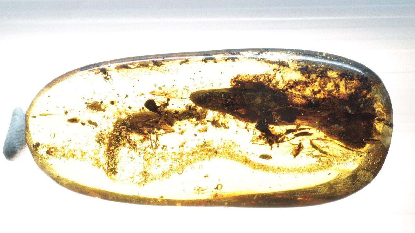 Este fragmento de ámbar cortado y pulido alberga el segundo espécimen conocido de Oculudentavis. El fósil ...