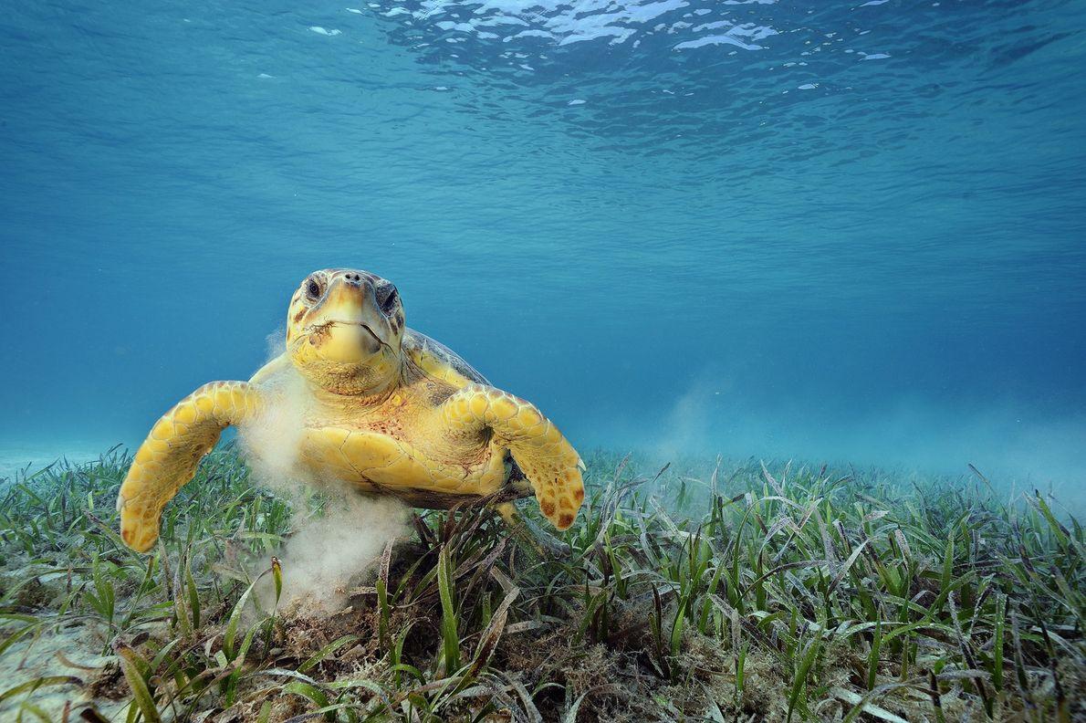 Una tortuga boba se alimenta de algas en Belice.