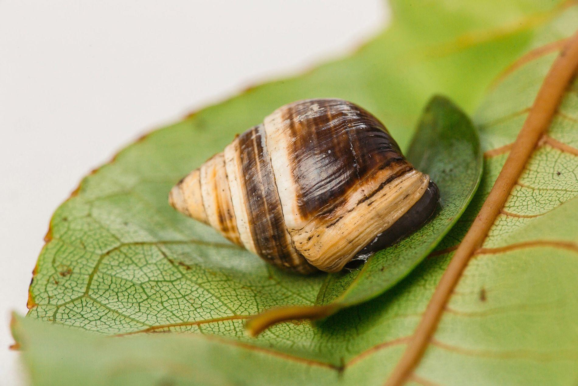 George, el caracol de la especie Achatinella apexfulva, murió el 1 de enero de 2019 con ...