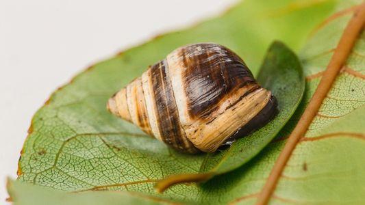 """La muerte del caracol conocido como """"el Solitario George"""" supone la extinción de su especie"""