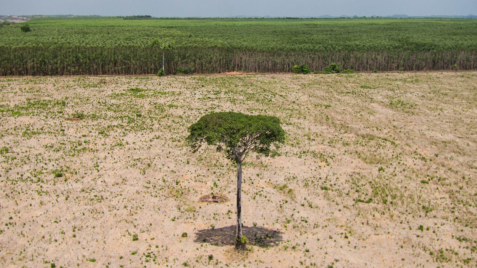 Un solitario árbol de hoja ancha sobrevive en una zona deforestada de Maranhão, Brasil, en el ...