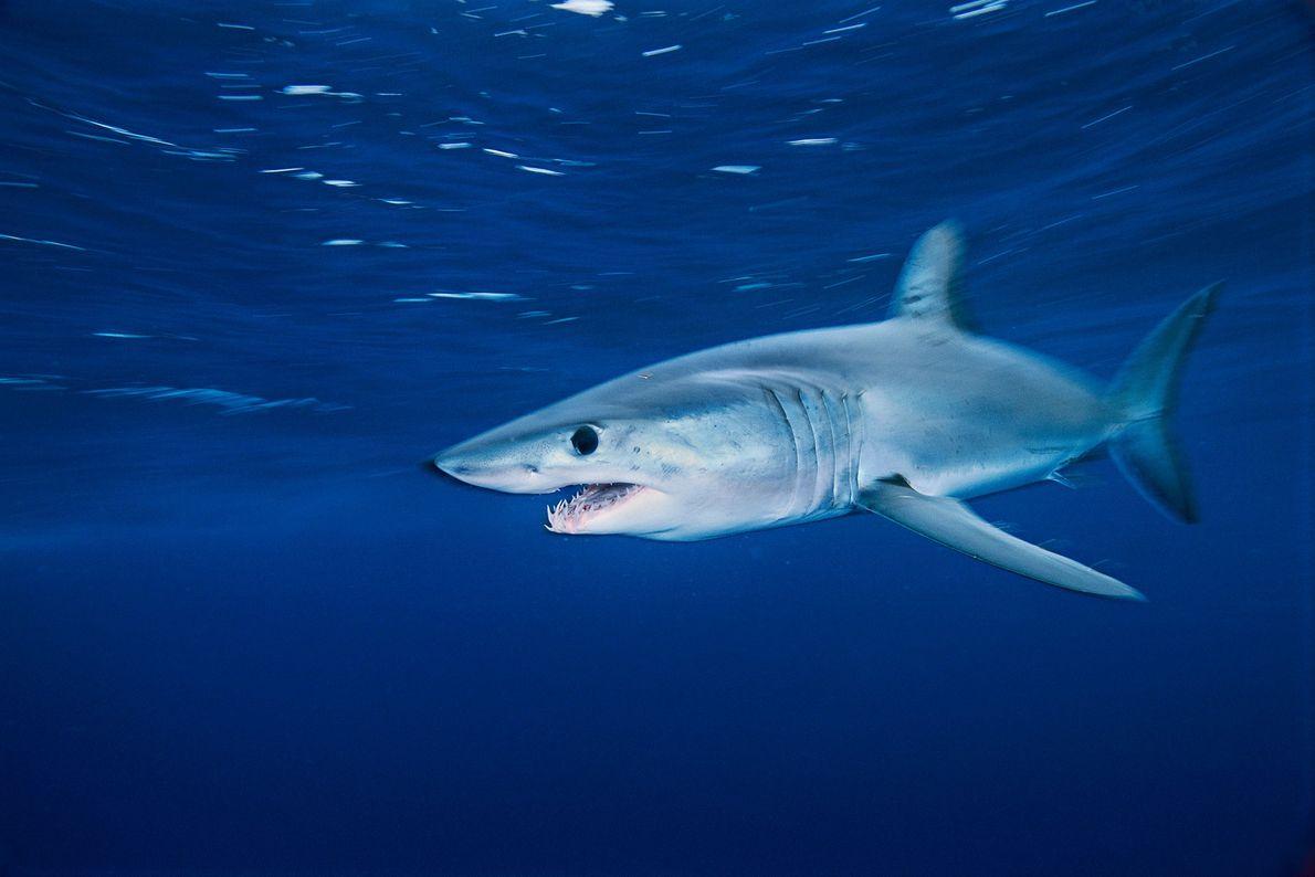 Tiburón mako. California.
