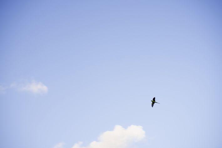 Una cotorra de Kramer de la India vuela de árbol en árbol en Hyde Park, Londres. ...