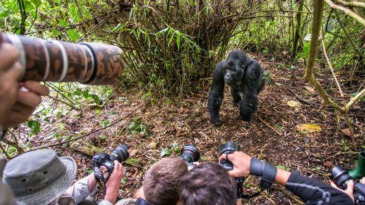 Turistas que se toman selfies con gorilas salvajes podrían transmitirles COVID-19 y otras enfermedades
