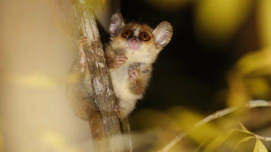 Los lémures ratón, como el Microcebus berthae, en peligro crítico de extinción, son tan pequeños que pueden caber en ...