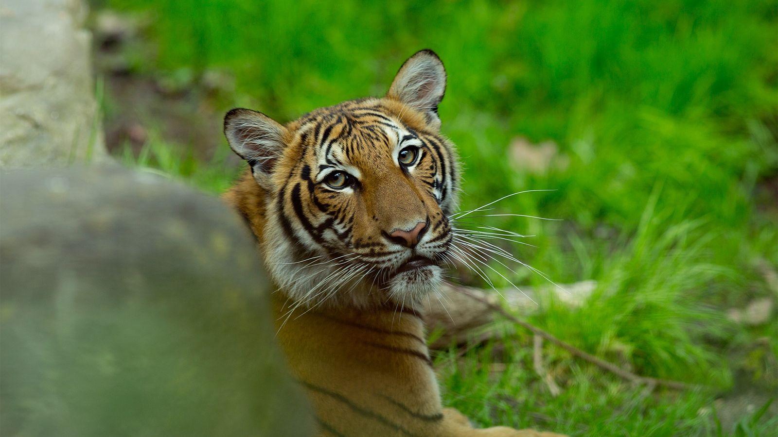 Un tigre malayo en el zoológico del Bronx, fotografiado en el 2017. Cinco de los tigres ...