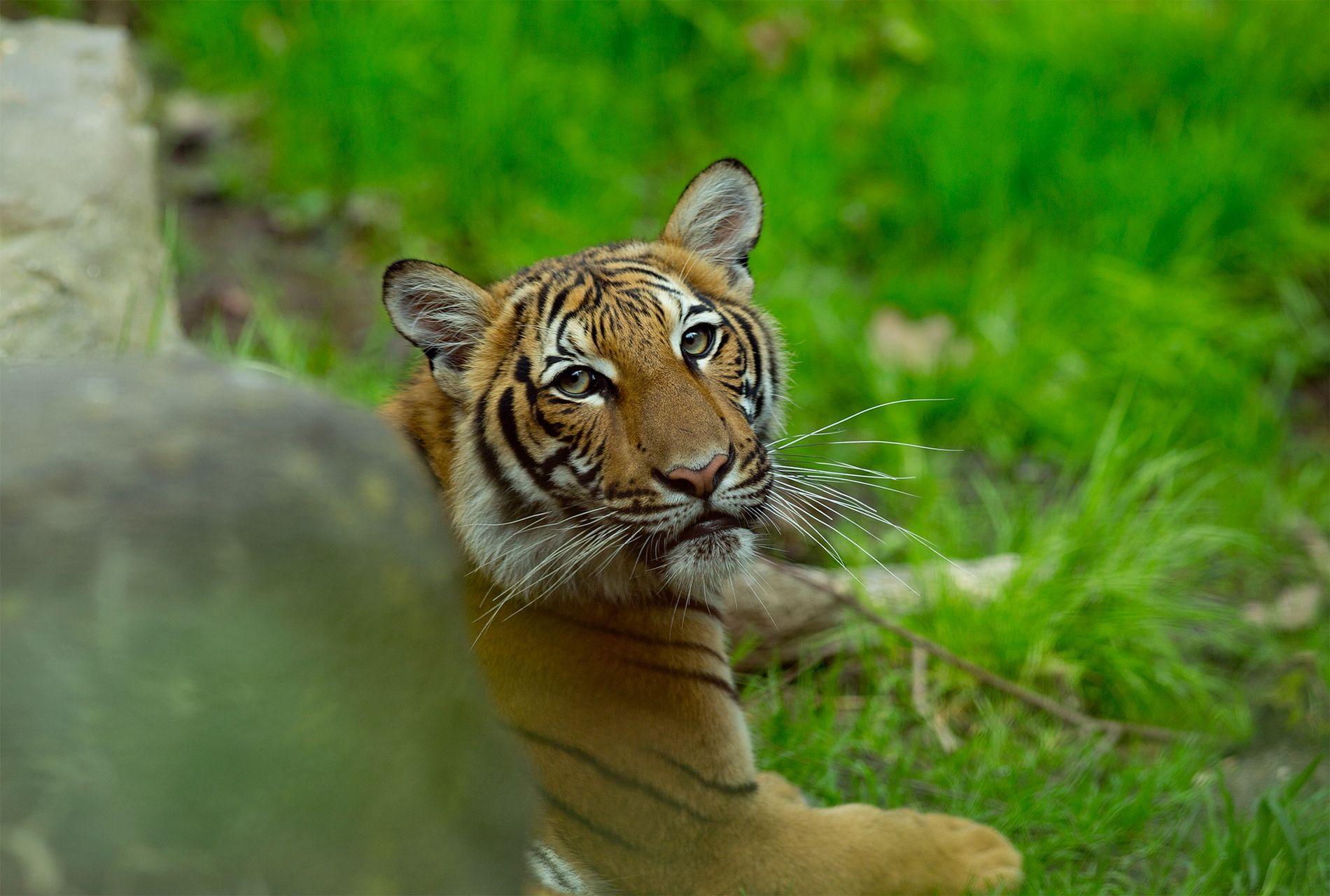 Un tigre da positivo por coronavirus en el Zoológico del Bronx. Este es el primer caso ...