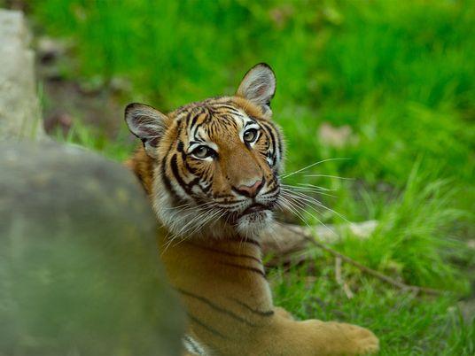 Siete grandes felinos más dan positivo por coronavirus en el zoológico del Bronx