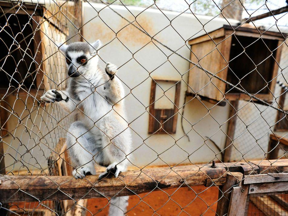 La muerte de un lémur por tuberculosis expone la grave amenaza del comercio ilegal