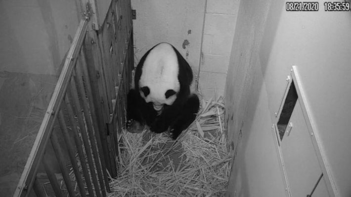 Mei Xiang da a luz a su cría en el Zoo de Washington. Durante las primeras ...