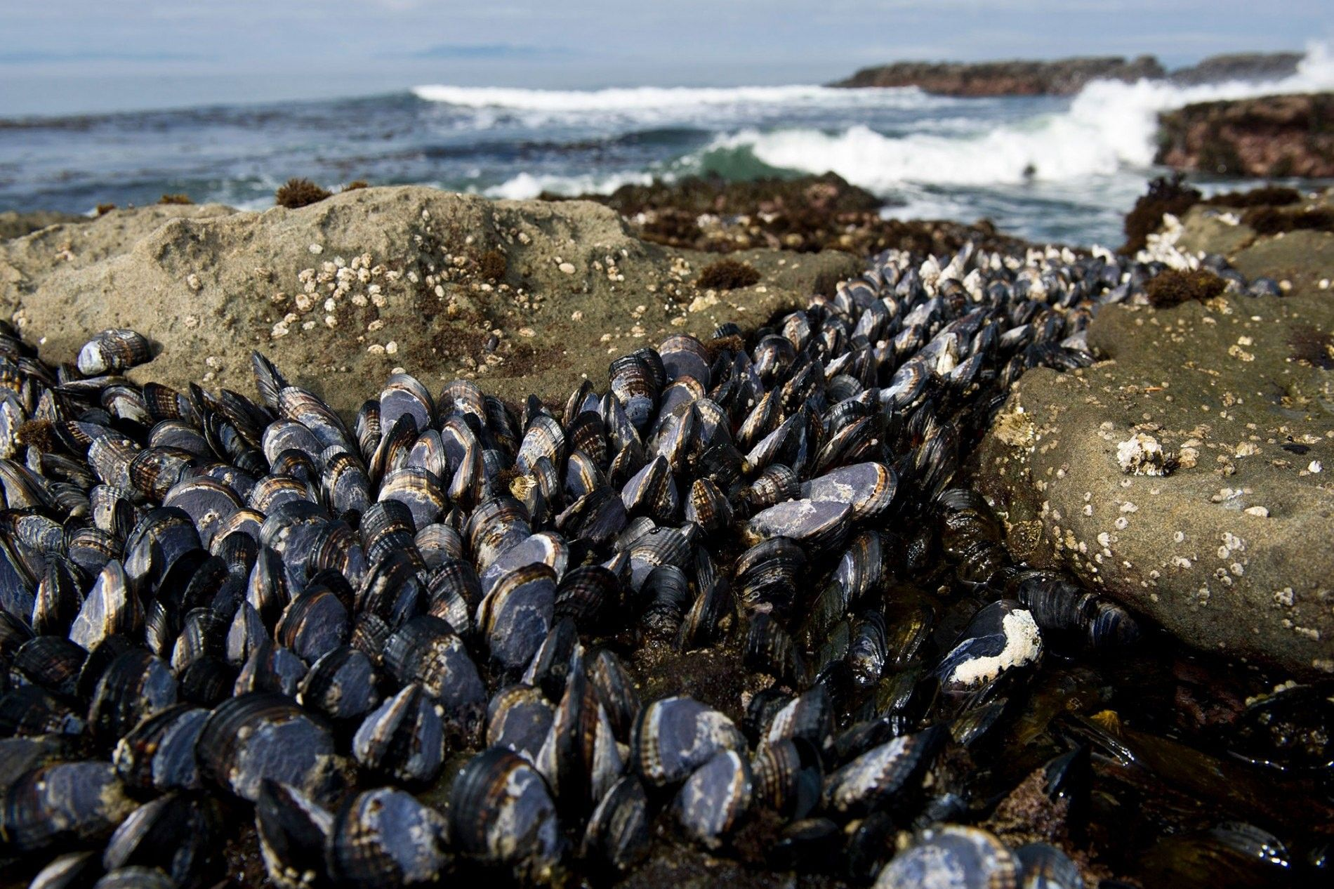 Los mejillones Mytilus trossulus (en la imagen vemos los de una playa de la isla Vancouver, ...