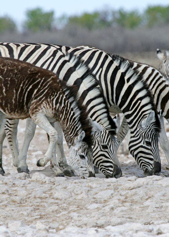 Una cebra joven con pseudomelanismo, una rara mutación genética en la que los animales presentan algún ...
