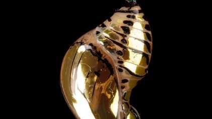 Cómo una oruga se convierte en mariposa: la metamorfosis, explicada