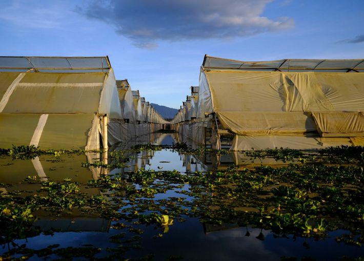 Las plantaciones de flores rodean el lago Naivasha. Estos invernaderos (construidos demasiado cerca del lago) se ...