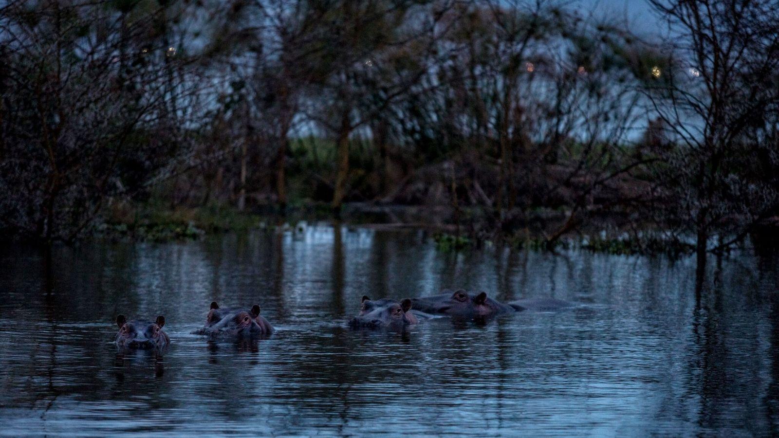 Los hipopótamos se sumergen en el lago Naivasha en un sitio de protección de la naturaleza ...