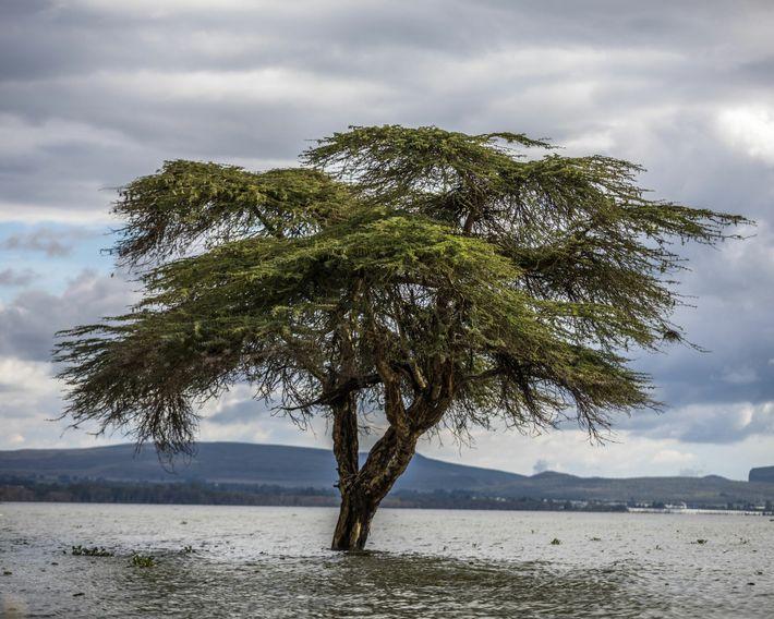 El tronco de un árbol Acacia xanthophloea, también conocido como el árbol de la fiebre, está ...