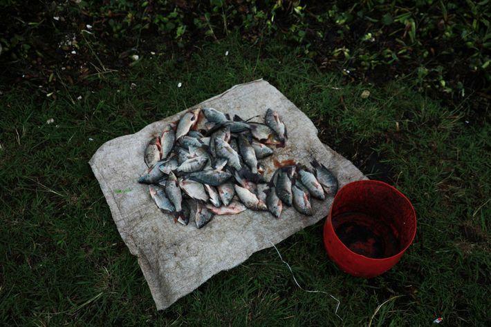 Las tilapias pescadas en el lago Naivasha descansan en una lona. Una tilapia pequeña puede venderse ...