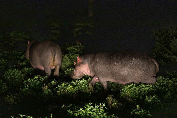 Los hipopótamos pastan de noche en Sanctuary Farm. En la década de 1990, los funcionarios de ...