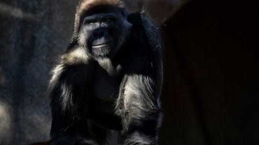 COVID-19 en animales: vacunan a los primeros grandes simios de un zoológico de Estados Unidos