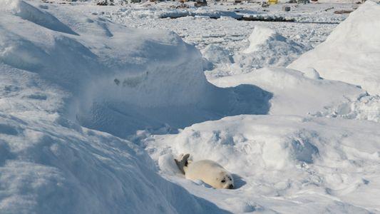 Las crías de foca de Groenlandia mueren en una playa de Quebec debido a la disminución ...