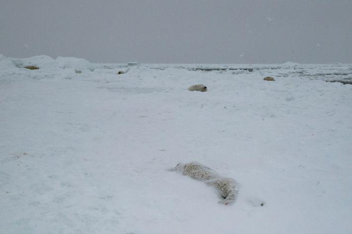 dead-harp-seal-pup