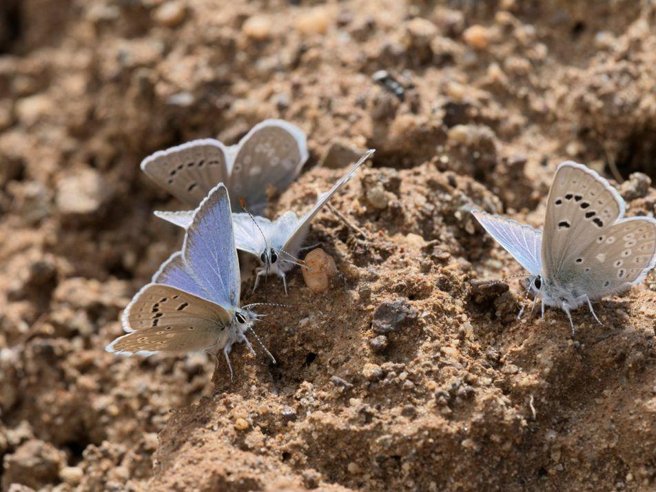 450 especies de mariposas están en rápido declive debido a los otoños cada vez más cálidos ...