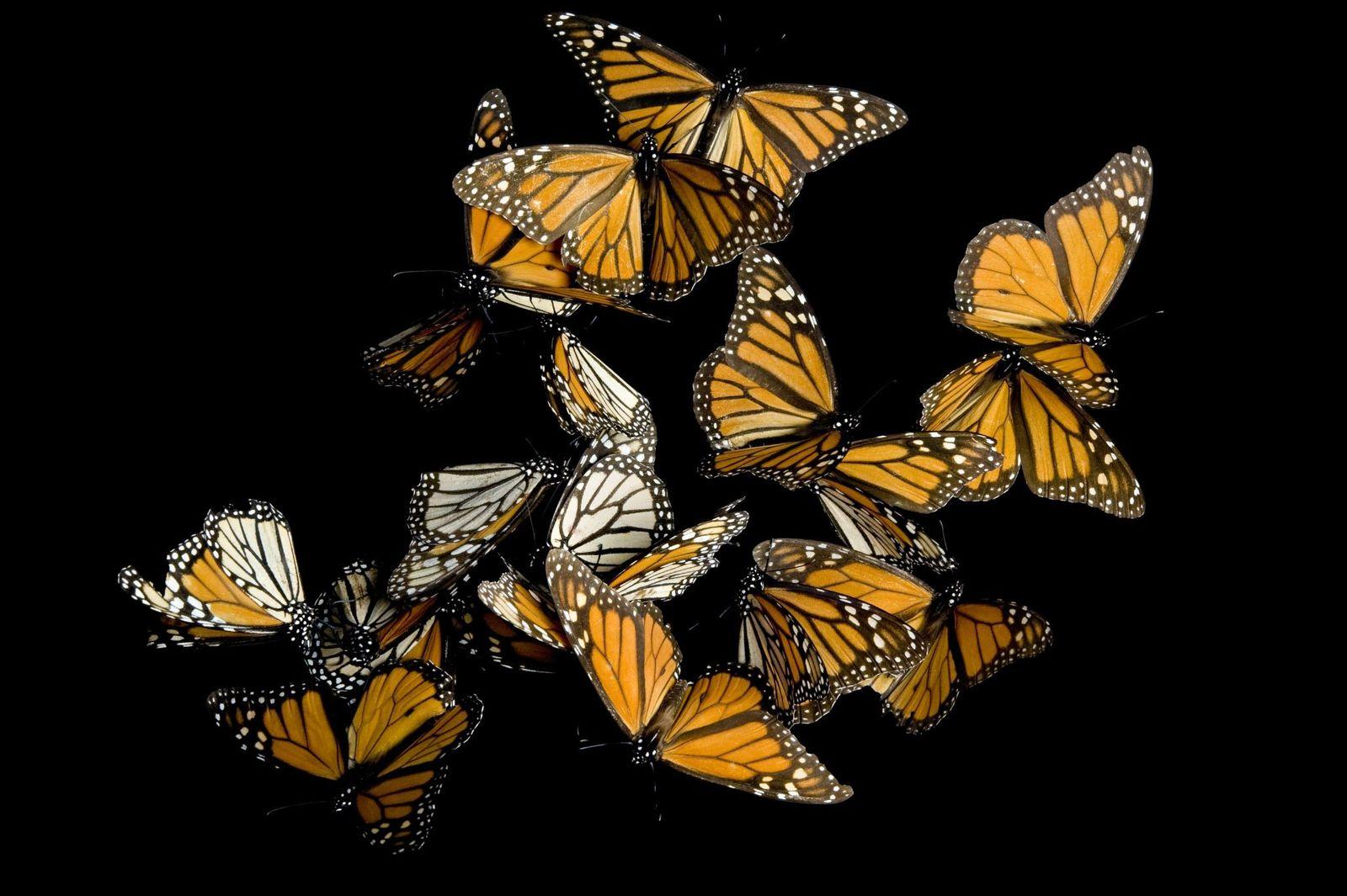 Las mariposas monarcas se reúnen en la Reserva de la Biosfera de la Mariposa Monarca en ...