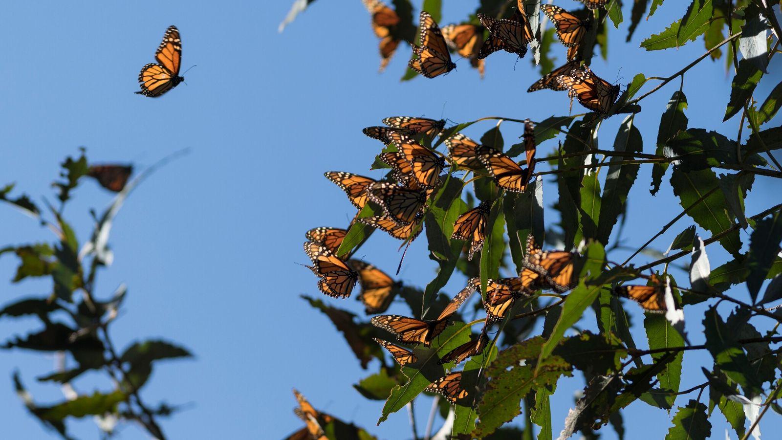 Miles de mariposas monarca en un árbol de eucalipto en Fremont, California, en 2018. En 2020, ...
