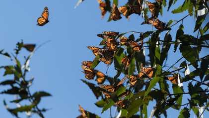 Excluyen a la mariposa monarca de la lista de especies en peligro de extinción pese a ...