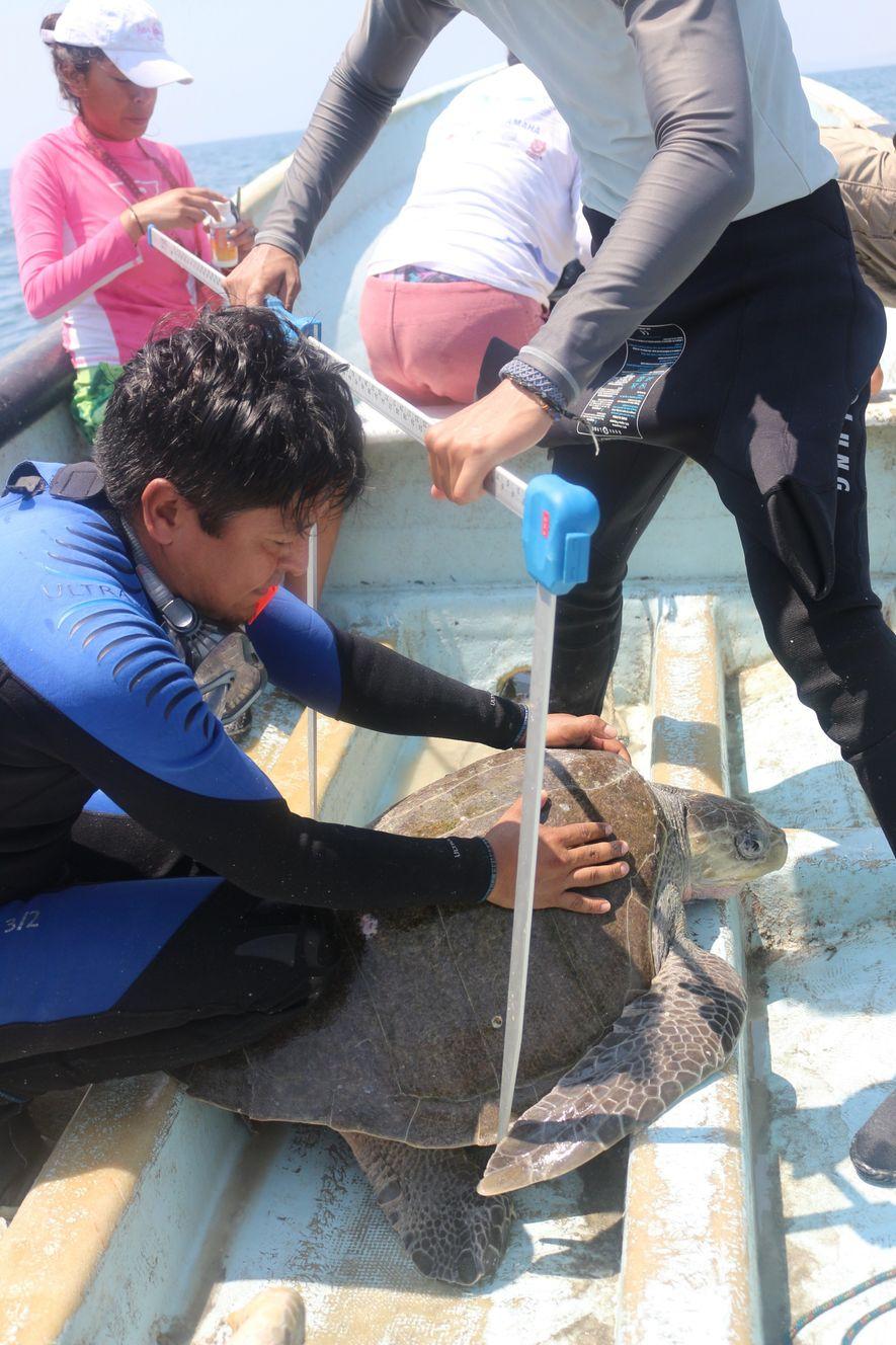 Morro Ayuta: un ejemplo de conservación de tortugas marinas en México