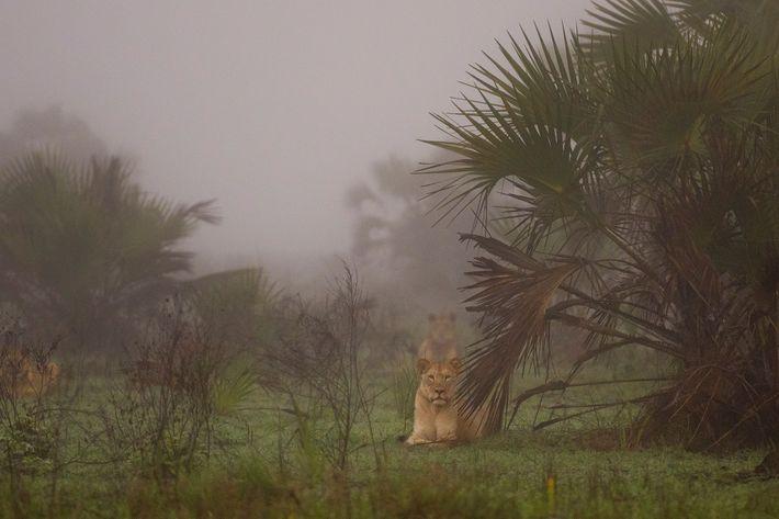 Los leones liberados y con rastreadores de una región remota del área de 4.500 kilómetros cuadrados ...