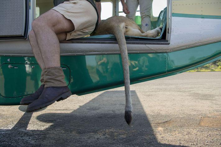 Nueve de los 24 leones fueron sedados y trasladados de las reservas cinegéticas de Tembe y ...