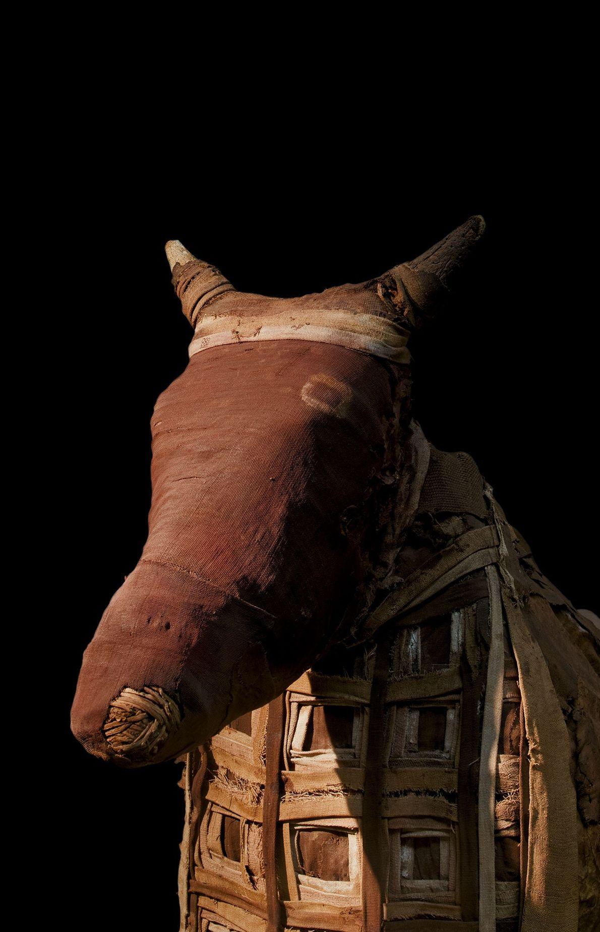 La santidad de los tres toros se extendía a sus madres, preparadas para el más allá ...