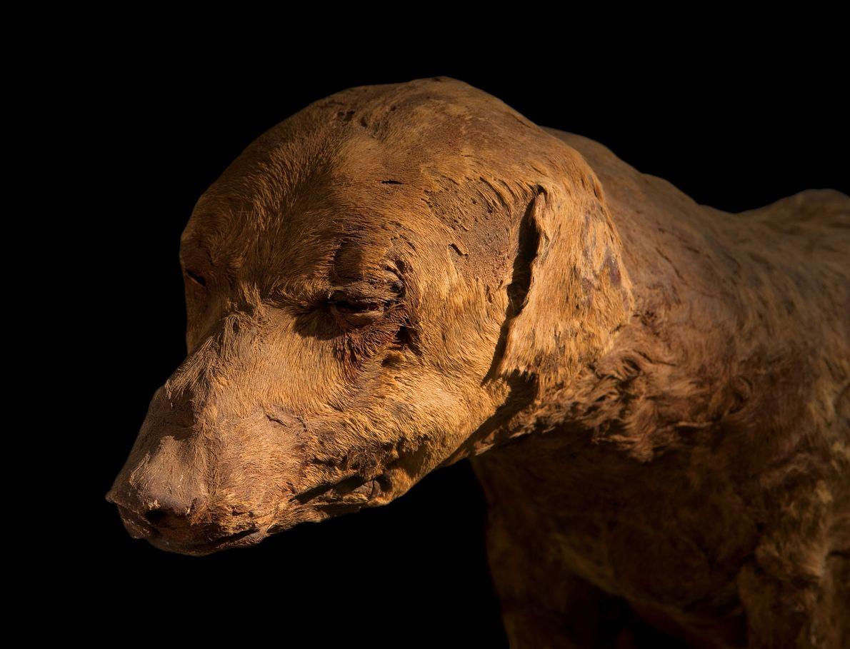 Es probable que este perro de caza preservado con esmero y cuyos vendajes se cayeron hace ...
