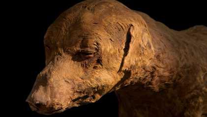Antiguos egipcios momificaron millones de ibices