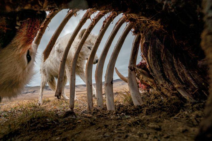 Los lobos se alimentan de los restos de un buey almizclero. Para sacar esta foto, el ...