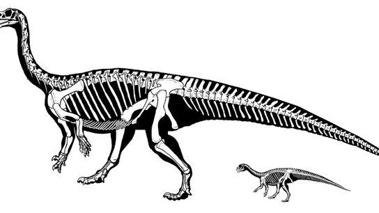 Como cría, el dinosaurio Mussaurus patagonicus caminaba en sus cuatro patas. Sin embargo, al crecer, su ...