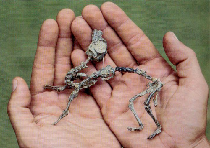 Una cría de Mussaurus patagonicus era tan pequeña que podría caber en las manos de un ...