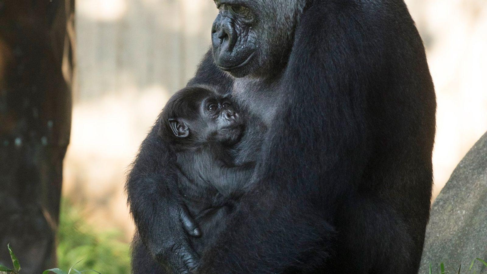 El gorila occidental de tierras bajas, Calaya, lleva a su recién nacido, Moke, al patio del ...