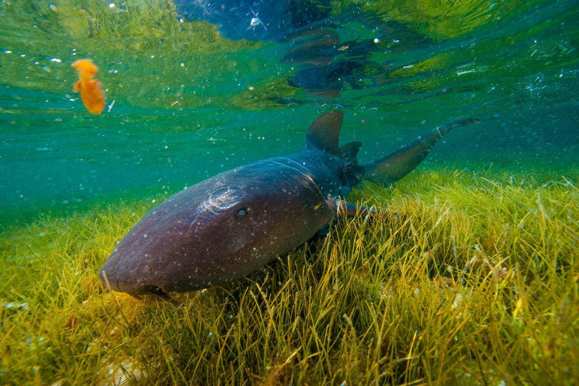 Tiburón nodriza. Lighthouse Reef, Belice.